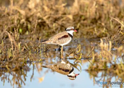Black-fronted Dotterel (Elseyornis melanops) standing in shallow wetland with full body reflection in water. [Photographed by Peter Rowland]