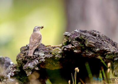 Brown Treecreeper (Climacteris picumnus) perched on mossy log with grasshopper or cricket in its beak. [Photographed by Peter Rowland]