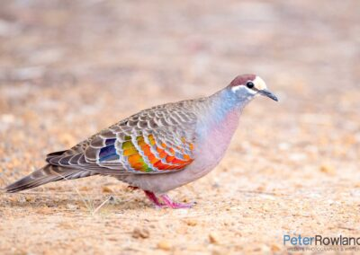 Common Bronzewing (Phaps chalcoptera) walking on bare ground by the side of a road. [Photographed by Peter Rowland]