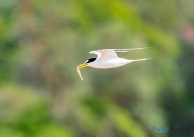 Little Tern (Sternula albifrons) in flight carrying a small fish in its bill. [Photographed by Peter Rowland]