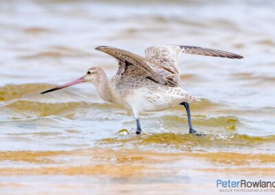 Bar-tailed Godwit (Limosa lapponica) taking off from shallow water of wetland. [Photographed by Peter Rowland]