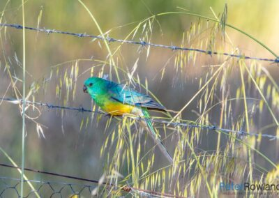 Male Red-rumped Parrot (Psephotus haematonotus) perched on barbed wire fence and surrounded by grass seeds. [Photographed by Peter Rowland]