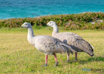 A pair of Cape Barren Geese (Cereopsis novaehollandiae) walking on green grassy hill with ocean in background. [Photographed by Peter Rowland]