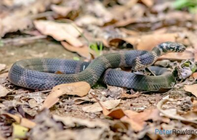 A Stephen's Banded Snake lightly coiled on the bush floor. [Photographed by Peter Rowland]