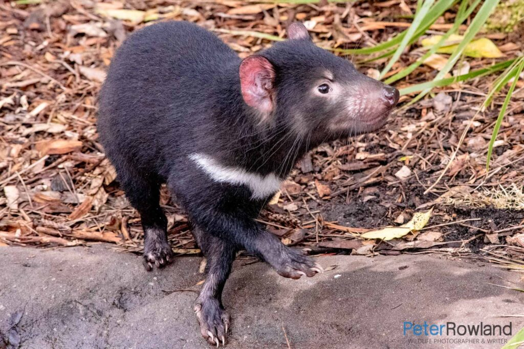 A Tasmanian Devil on a large rock