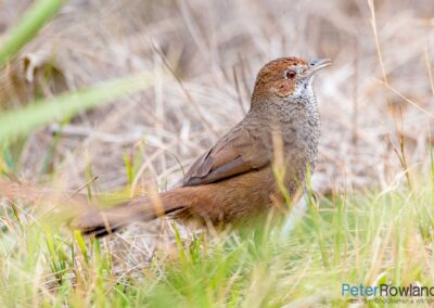 Rufous Bristlebird (Dasyornis broadbenti) in a small clearing among the grass. [Photographed by Peter Rowland]