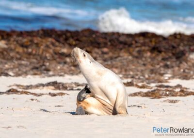 Australian Sea-lion (Neophoca cinerea) scratching itself with its rear flipper on sandy beach. [Photographed by Peter Rowland]
