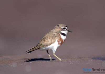 Double-banded Plover (Charadrius bicinctus) on rock shelf. [Photographed by Peter Rowland]