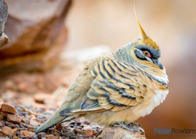 Close up of Spinifex Pigeon (Geophaps plumifera) sitting on rocky ground. [Photographed by Peter Rowland]