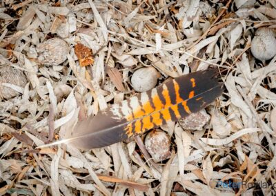 Red-tailed Black-Cockatoo (Calyptorhynchus banksii) feather lying on ground, surrounded by dead leaves and gum nuts. [Photographed by Peter Rowland]