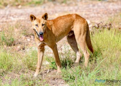 A Dingo looking at the camera after feeding on a dead kangaroo carcass. [Photographed by Peter Rowland]