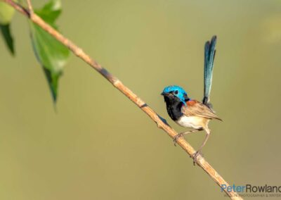 A Purple-backed Fairywren perched on a thin branch. [Photographed by Peter Rowland]