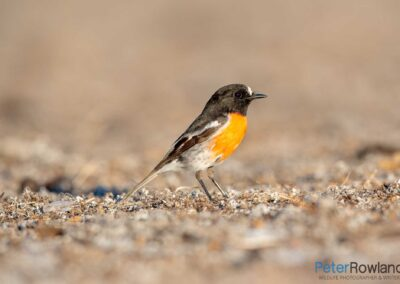 A male scarlet robin searching for food on the ground. [Photographed by Peter Rowland]