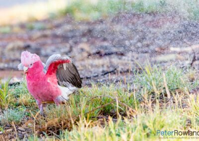 A Galah playing next to a sprinkler system. [Photographed by Peter Rowland]