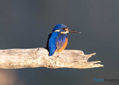 Azure Kingfisher (Ceyx azureus) perched on dead branch next to Murray River in early morning sunlight. [Photographed by Peter Rowland]