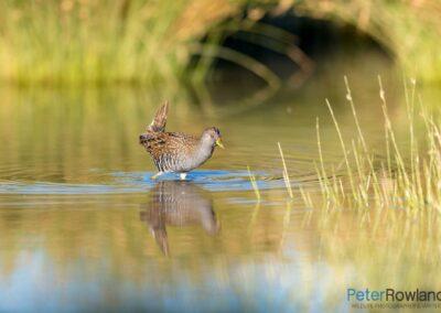 Australian Spotted Crake (Porzana fluminea) feeding in shallow wetland. [Photographed by Peter Rowland]