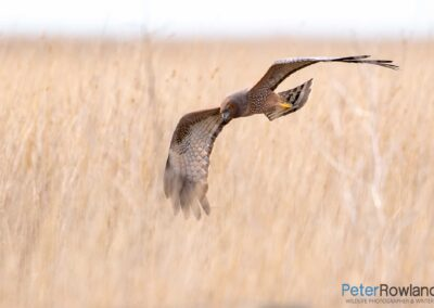 Spotted Harrier (Circus assimilis) hunting low over a field. [Photographed by Peter Rowland]