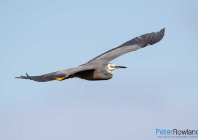 A White-faced Heron (Egretta novaehollandiae) in flight. [Photographed by Peter Rowland]